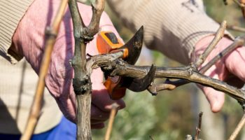 Как не ошибиться при обрезке веток у разных плодовых деревьев