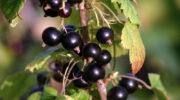Зачем подкармливают черную смородину осенью