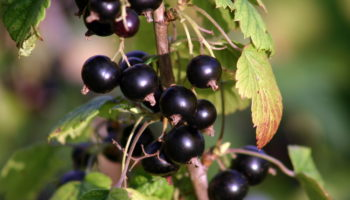 Защита смородины от болезней и вредителей: как получить богатый урожай и навсегда избавиться от тли и клещей