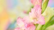 Гладиолусы сажать лучше в вазоны — и вот почему