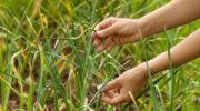 Подкормка чеснока весной, чтобы был крупный и не желтел