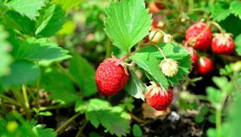 Как легко вырастить клубнику из семян на рассаду дома