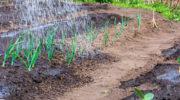Гниение лука: как спасти урожай на грядке