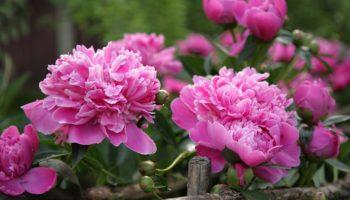 Весенний подкорм пионов для пышного цветения