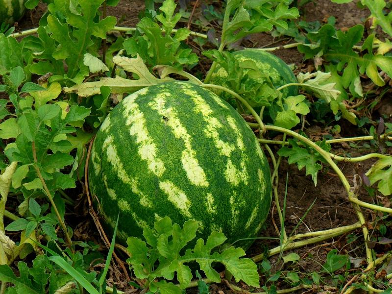 Делимся опытом по выращиванию арбуза