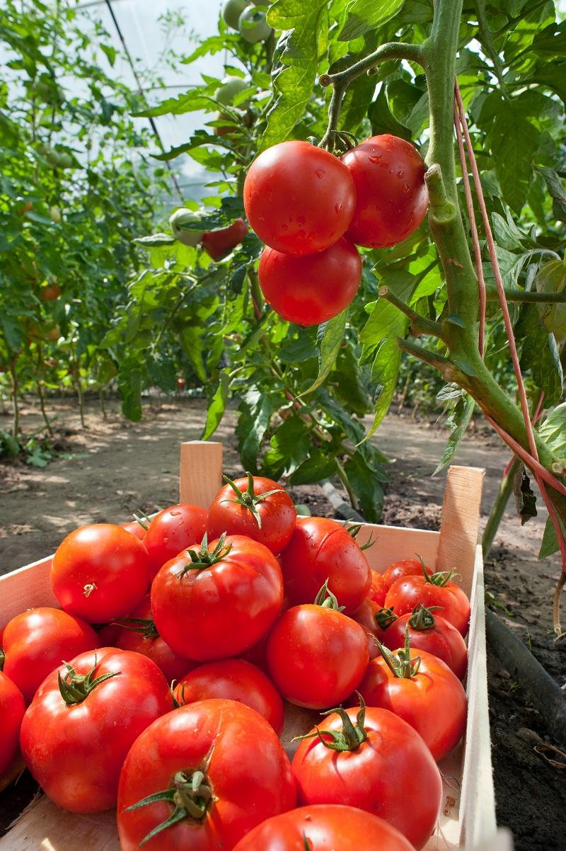 Как повысить урожайность помидоров в 2 раза? Вовремя их подкормить