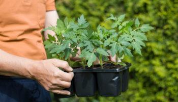 Подкормки для рассады перцев и томатов, чтобы быстрее росли