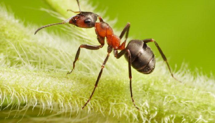 Сода от муравьев: действенный способ избавиться от насекомых-вредителей