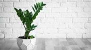 Долларовое дерево дома – ядовитое растение или финансовый талисман