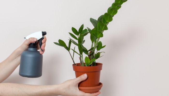 Замиокулькас — неприхотливое растение, которое для меня стало отличной находкой при оформлении интерьера. Даю советы по Уходу за ним