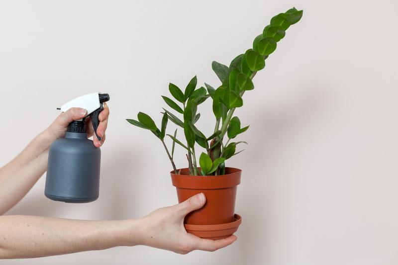 Размножаем замиокулькас легко — разберется даже начинающий цветовод. Предлагаю несколько вариантов