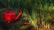 Что посадить на грядке после лука, чтобы не вырастить «горе луковое»