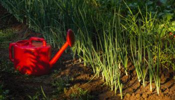 Как правильно сажать лук, чтобы получить хороший урожай