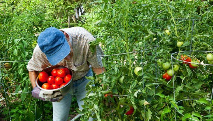 Томаты с высокой урожайностью для посадки в 2021 году