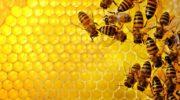 Содержание медоносных пчел: правила и особенности