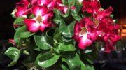 Адениум: выращиваем одно из наиболее экзотических комнатных растений