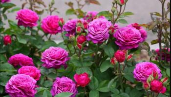 Розы патио: сорта и виды