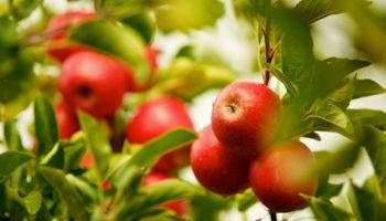 Чем подкормить яблони весной, чтобы получить богатый урожай