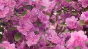 Декоративные растения для сада: обзор самых красивых цветущих кустарников