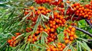 Как заморозить облепиху на зиму – целебные ягоды впрок