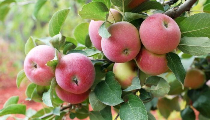 Чтобы избавиться от Вредителей и укрепить Яблони, я обрабатываю сад осенью следующим образом