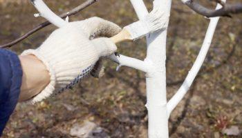 Побелка плодовых деревьев осенью — защита сада от мороза