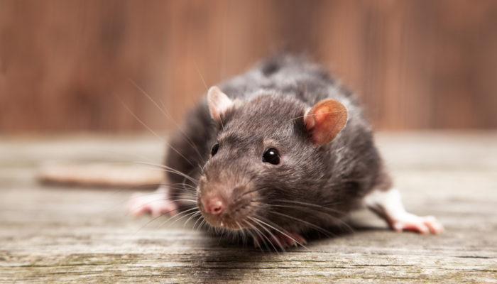 Самый эффективный способ избавления от мышей на даче навсегда