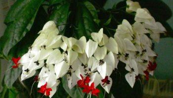 Роскошный клеродендрум в вашем доме: выращивание, уход и размножение