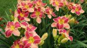Яркие и необычные лилейники из семян: все, что нужно знать об этом методе выращивания