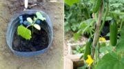 Как выращивать огурцы в 5-литровых бутылках
