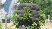 Интересный способ выращивания малины: не выбрасывайте старые автомобильные покрышки