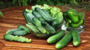Интересный и урожайный Огурец-гибрид Эколь F1. Предлагаю сразу два вида посадки — выбирайте в свое удовольствие