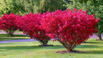 Бересклет – шикарное Осеннее Украшение для вашего участка