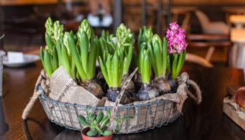 Выращивание декоративных луковичных растений на балконе: посадите луковицу в горшочек и ждите чуда