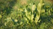 Как использовать листья хрена – целебные свойства растения