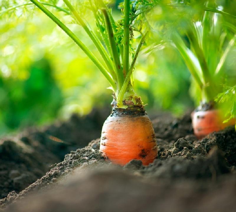 Давно и очень успешно сажаю озимую морковь, собираю большие и ранние урожаи