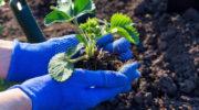 Рассказываю, как правильно ухаживать за Садовой Земляникой после сбора урожая