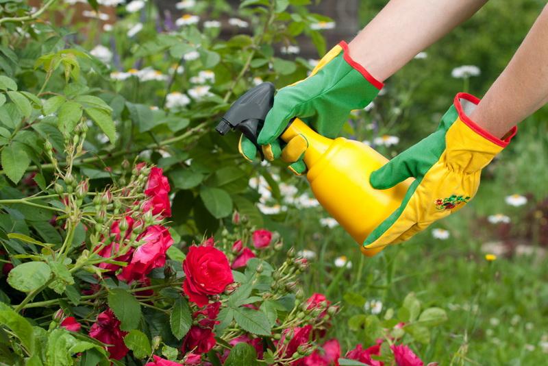 Рассказываю, как и чем обрабатываю Розы осенью: лечение и эффективная профилактика грибков и инфекций