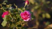 Чайная роза: сорта королевы цветников