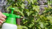 Сода для черной смородины — удобрение и лекарство