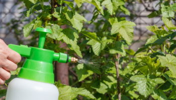 Осенняя обработка смородины — как обеспечить здоровье кустов и обильное плодоношение