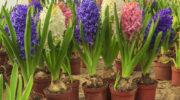Как вырастить луковичные цветы на собственном балконе