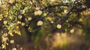 Сроки обработки деревьев медным купоросом