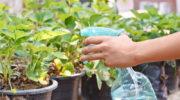 Отличный урожай клубники из года в год: используем метод четырех грядок