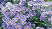 Как подготовить многолетние хризантемы к зиме