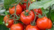 Если хотите получить высокий урожай помидоров без лишних хлопот, томат сорта Демидов — ваш выбор. Делюсь особенностями ухода
