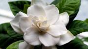 Гардения – цветок, который послужит настоящим украшением вашего дома