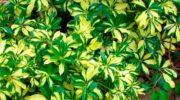 Шефлера – солнце на подоконнике. Особенности ухода, выращивания и размножения