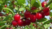 Войлочная вишня: особенности вкусных ягод и ухода за ними