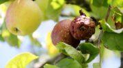 Спасаем яблоки: как бороться с плодовой гнилью